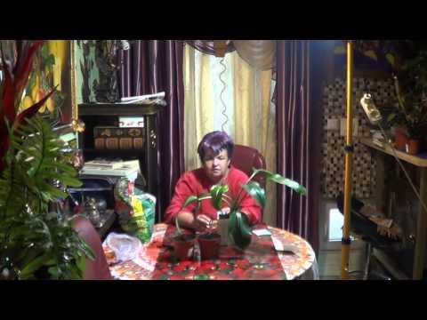 Лилия комнатная уход в домашних условиях, посадка цветка