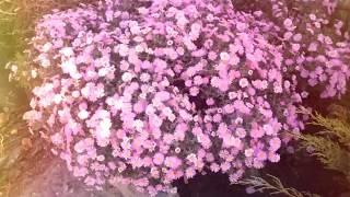 Осенние цветы / Autumn flowers