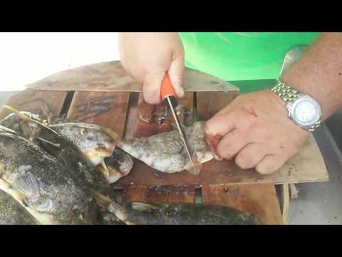 How To Clean Swelling Toads / Puffer Fish
