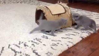Русские голубые котята. Помет Т. 1 месяц.