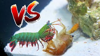Crawfish vs Giant Mantis Shrimp! *EPIC BATTLE ROYALE*
