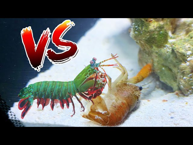 Crawfish vs Giant Mantis Shrimp! *EPIC BATTLE ROYALE*