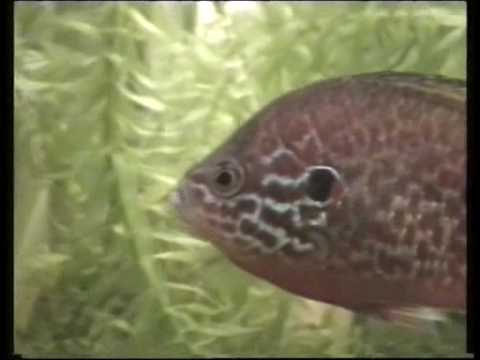 My Pumpkinseed Sunfish In Tank/Sonnenbarsch Im Aquarium[4/4]