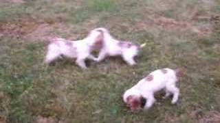 11 Week Old Cocker Spaniel Puppies Playing In The Yard