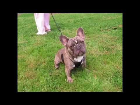 PuppyFinder.com : Baron ~ Neutered Male AKC Blue Reverse Brindle French Bulldog