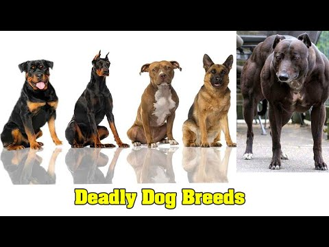 top-10-deadly-dog-breeds