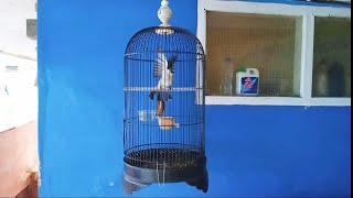HD Audio Suara Burung Kutilang Gacor Part 2