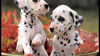 Dalmation, Puppies For Sale, In, Memphis, Tennessee, Tn, 19breeders, Clarksville, Chattanooga