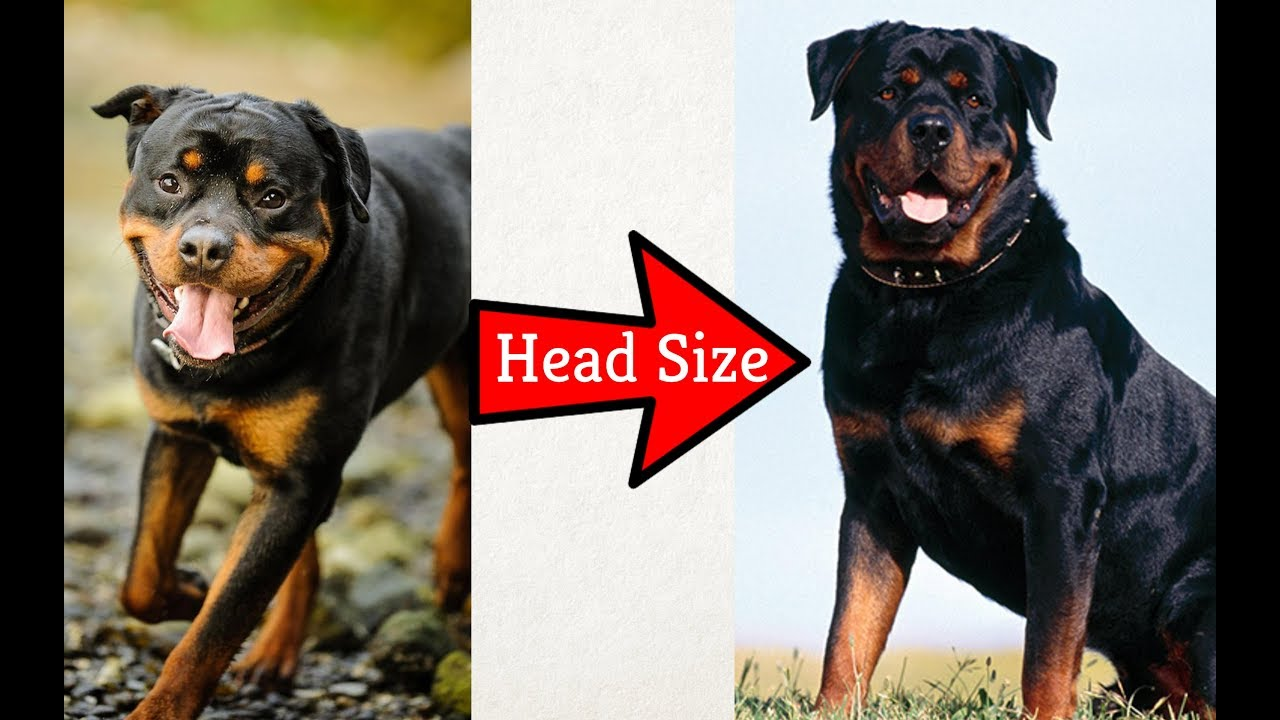 How You Can Increase Head Size Of Your Dog By Dr Furqan Arif Youtube