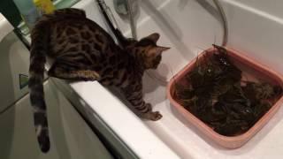 Бенгальский кот против раков. Bengal cat vs crayfish