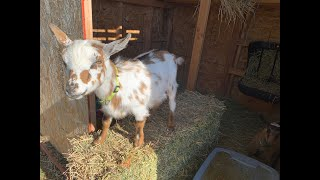 Life on a Farm - Fence Build and Goat update