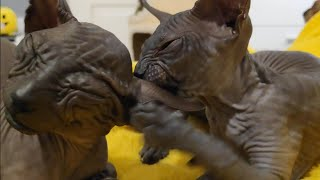 Cute baby sphynx kittens / sweetest animals in the world / DonSphynx /