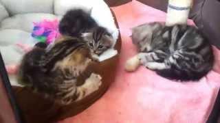 Питомник шотландских кошек ROYAL CHARM! http://krasotka8484.wix.com/royal-charm