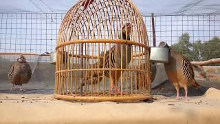 Repeat youtube video Koharian's pet birds-loralai