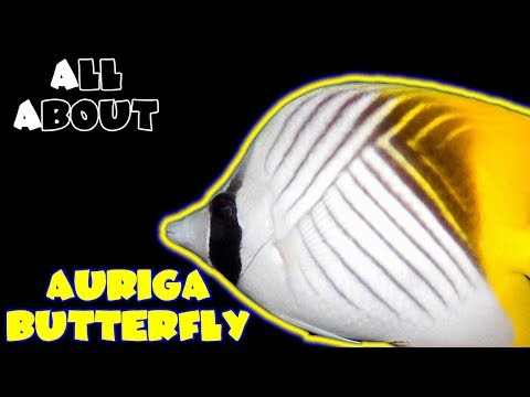 All About The Auriga Butterfly Or Threadfin Butterfly