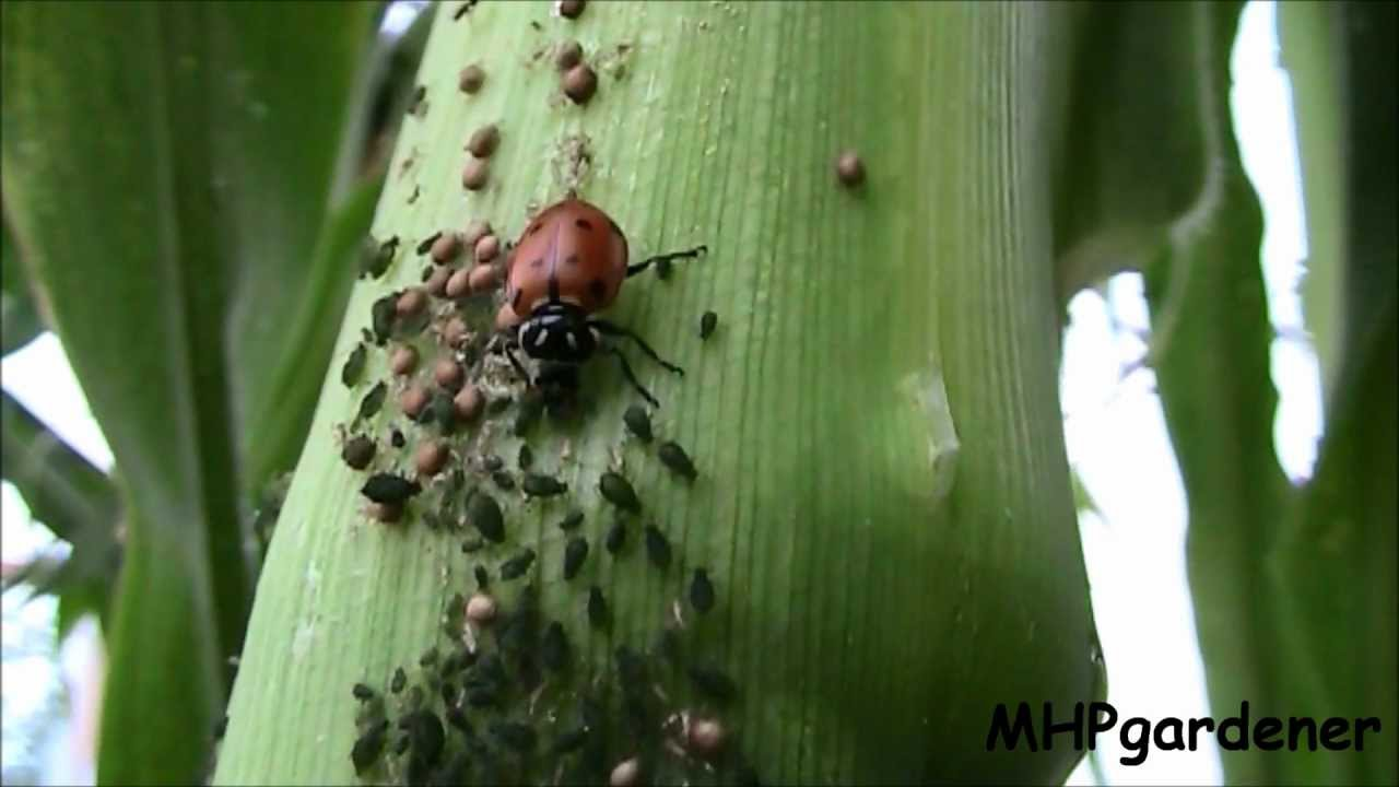 beneficial insects in action ladybugs and parasitic wasps youtube