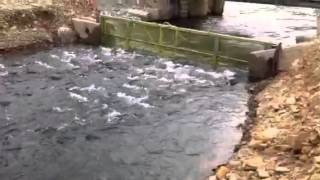 видео: Ход горбуши на Сахалине