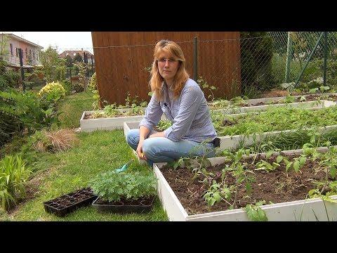 Посадка рассады бархатцев в грунт | выращивание | вредителями | бархатцами | улучшение | бархатцев | бархотцы | бархатцы | рассада | посадка | борьба