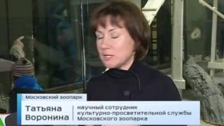 «Огненная кошка» в московском зоопарке
