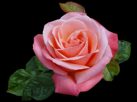 Flores bonitas youtube - Fotos de flores bonitas ...