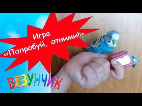 Домашний питомец попугай Кеша играет с зеркалом. Игра Попробуй, отними! #ПопугайКеша