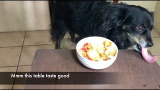 CHIHUAHUA EATS APPLES & PEANUT BUTTER FAIL ASMR (No Talking)