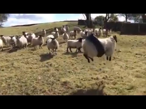 sheep-stuck-in-a-rope-swing