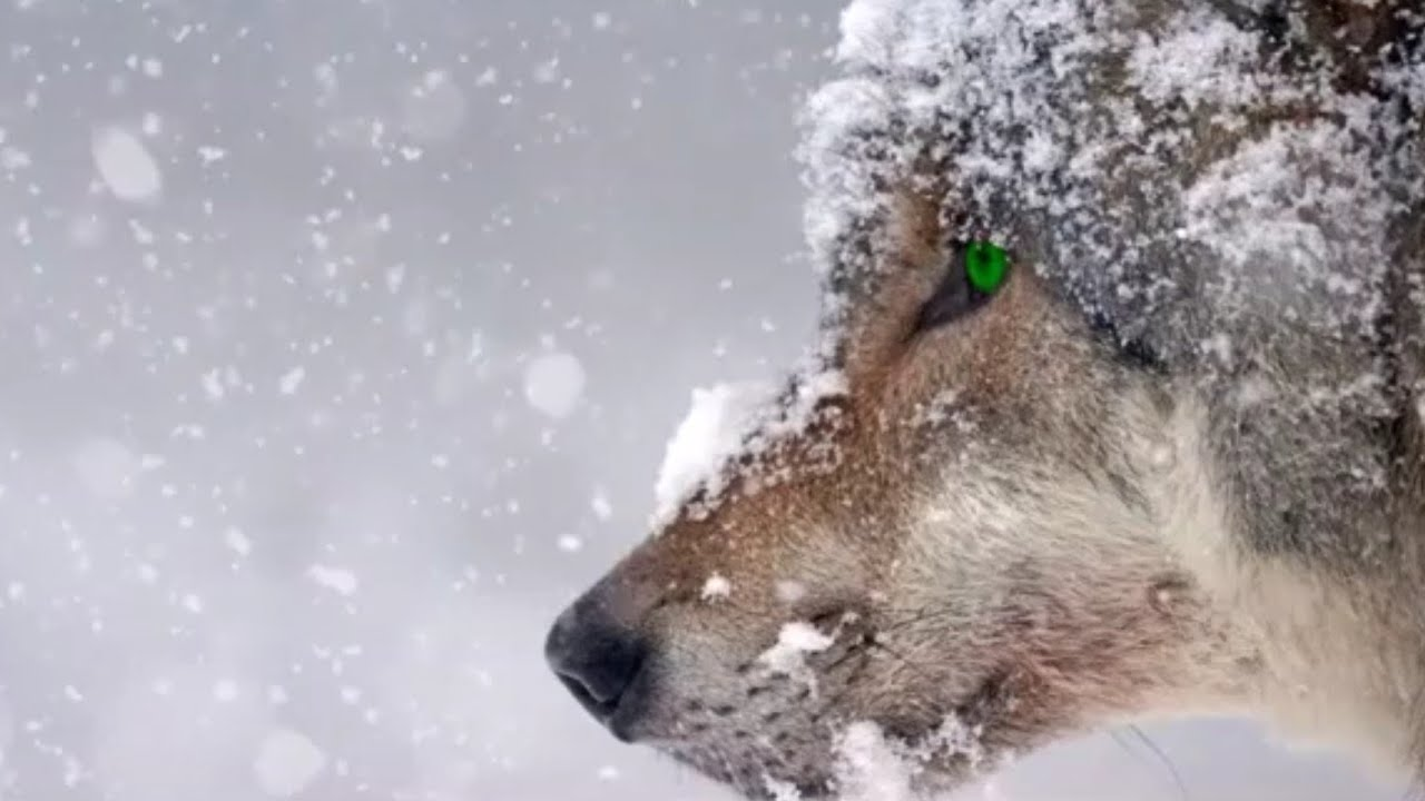 Haunting Wolves Howling Nature Scenes 8 Relaxing Hours