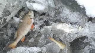 Замор рыбы. Пока частичный.  2 серия.
