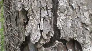 How to find the right tree (Slippery Elm tree identification) when hunting for morel mushrooms.