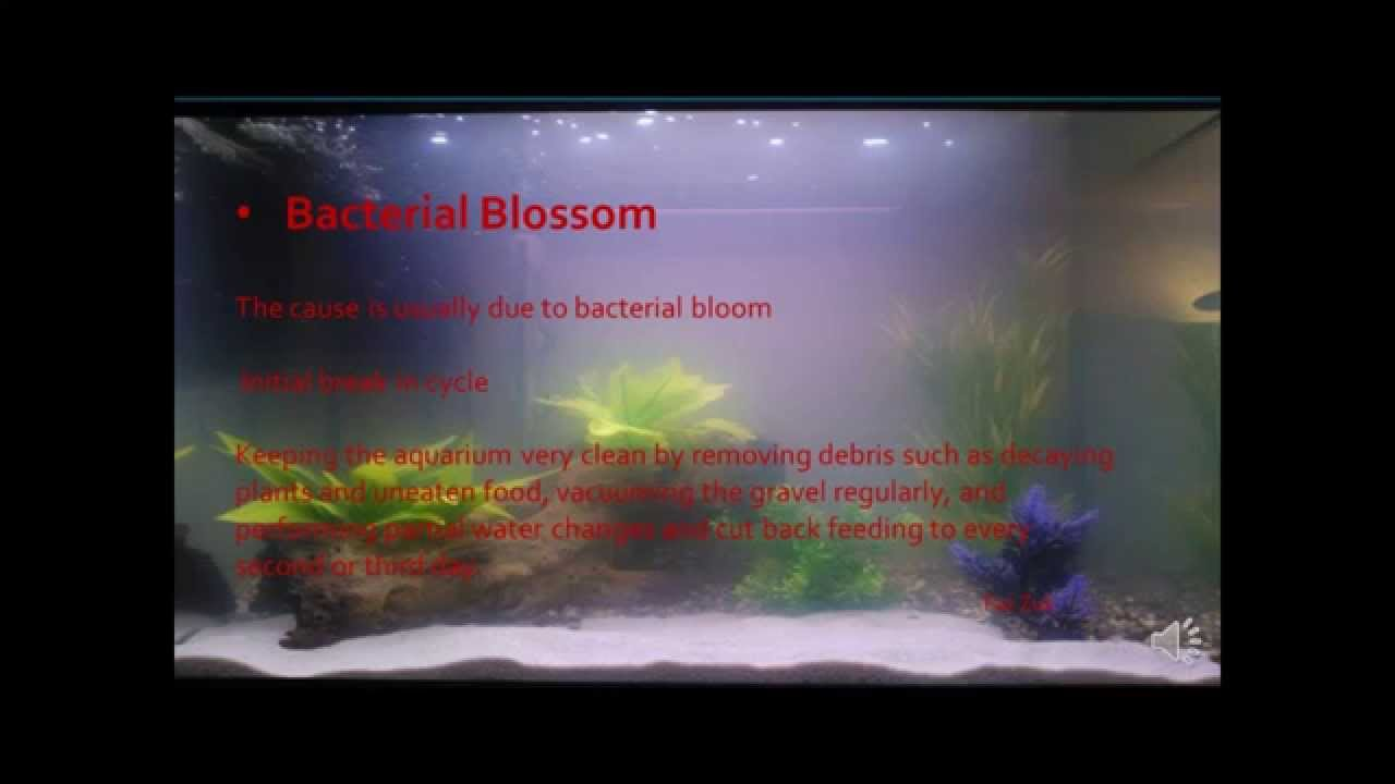 Reasons for cloudy water in aquarium hd youtube for Why is my fish tank water cloudy