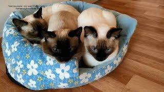 Три моих молодых тайских котика окраса сил-пойнт отдыхают! Тайские кошки - это чудо! Funny Cats