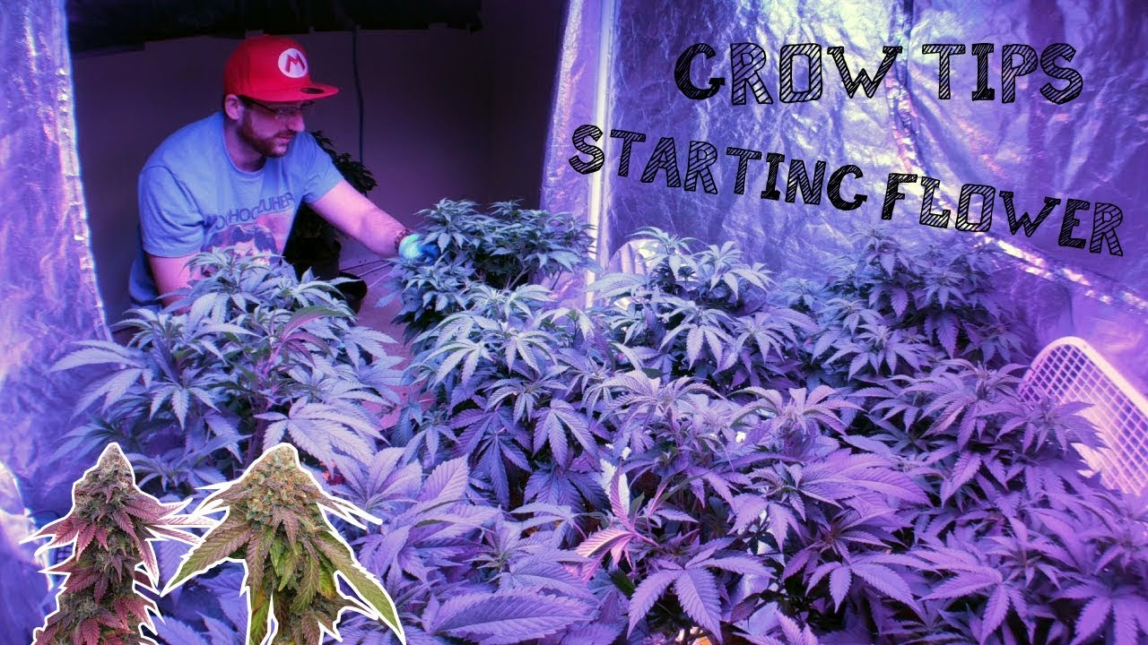 INDOOR GROW GUIDE:  GETTING READY FOR CANNABIS MARIJUANA FLOWERING STAGE