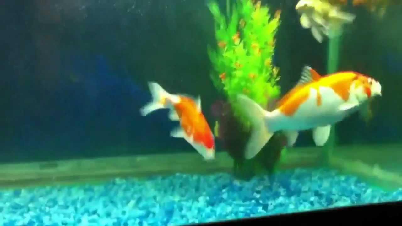 Koi fish tank youtube for Keeping koi fish