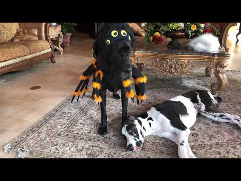 Woody's World - WATCH: Great Dane Models Spider/Bumblebee Costume