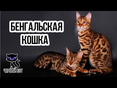 ✔ Бенгальская кошка – элитная порода для людей с особыми запросами
