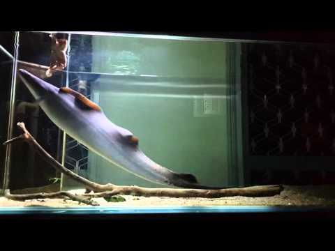 Aba aba knife fish feeding scad fish and shelled prawns for Aba aba knife fish