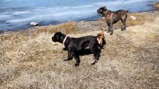 Cane Corso Dogs And Min Pin Mix At Fountain Lake, Lillooet, Bc