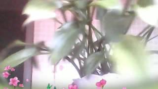 видео Дримиопсис