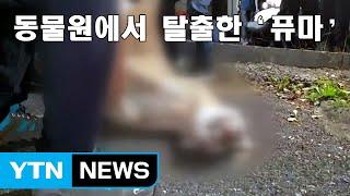 [자막뉴스] 대전 동물원에서 퓨마 탈출해 사살...문단속 허술에 무게 / YTN