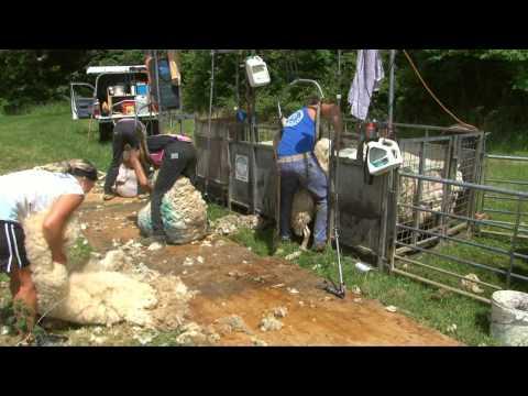 Sheep shearing: Children's DVD: Bee bright On the Farm: Amazing Animals (Justin Fletcher)