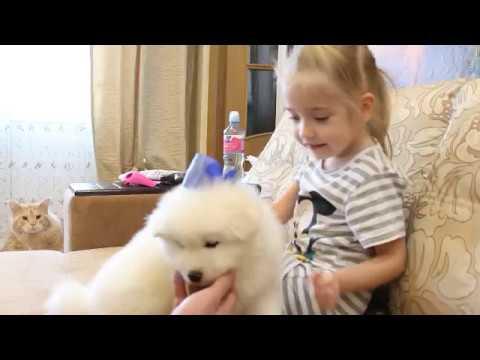 Самоед. Щенок самоеда. Самоеды и дети. Подарок на День Рождения. Белый мишка. Samoyed dog.