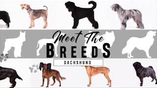 Meet the Breeds: Dachshund