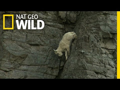 Rock-Climbing Goats | World Wide Web