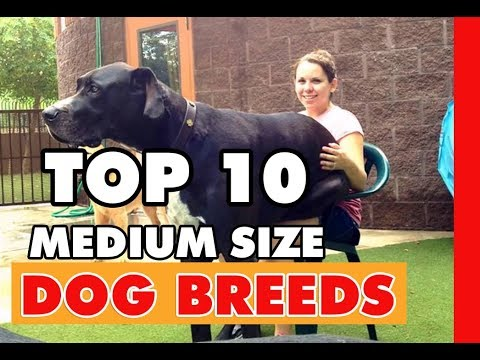 TOP 10 MEDIUM SIZED DOG BREEDS