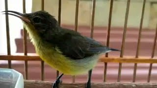 Kolibri Ninja Muda Gacor