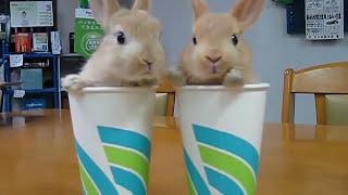 2 Rabbits 2 Cups コップにはいった子うさぎ 漫才編