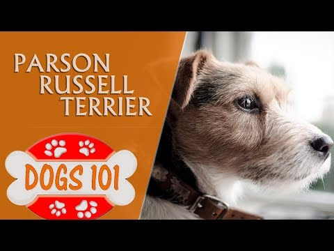 Dogs 101 - PARSON RUSSELL TERRIERR - Top Dog Facts About the PARSON RUSSELL TERRIERR