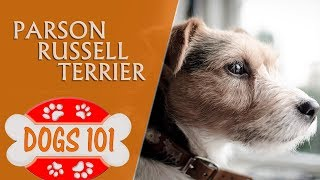 Dogs 101  PARSON RUSSELL TERRIERR  Top Dog Facts About the PARSON RUSSELL TERRIERR