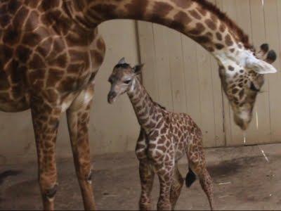 Raw: Santa Barbara Zoo Unveils Baby Giraffe
